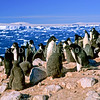 11001-26519 Adelie penguin (Pygocelis adeliae) a circumpolar breeder from the Ross Sea region of Antarctica.