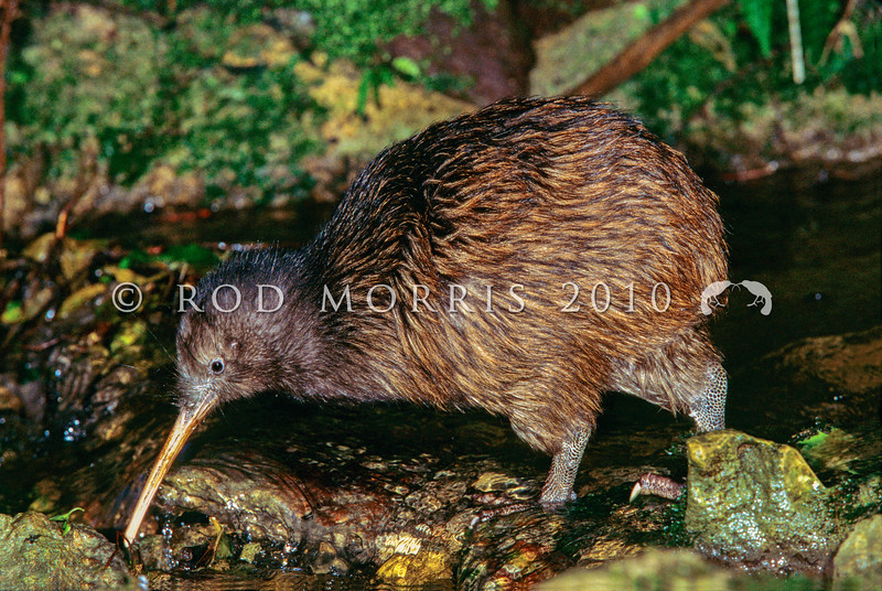 11001-01220  Eastern brown kiwi (Apteryx mantelli) fishing *
