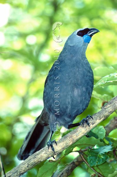11001-87320 North Island kokako (Callaeas wilsoni) male *