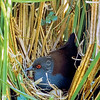 11001-50204 Spotless crake (Porzana tabuensis)  this portrait of an adult female at a nest, was taken by the renowned bird photographer Geoff Moon (1915-2009). It is still the best portrait available of this secretive bird. Whangateau Inlet *