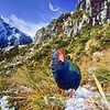 11001-51905 Takahe (Porphyrio hochstetteri) wild male in the Mackenzie Burn head basin in early spring. Murchison Mountains, Fiordland *