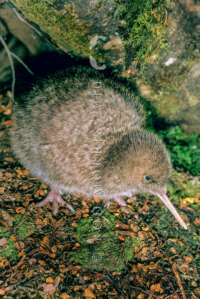 11001-05619 Great spotted kiwi (Apteryx haastii) six week old chick on forest floor