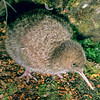 11001-05619 Great spotted kiwi (Apteryx haastii) six week old chick on forest floor. Arthurs Pass National Park *