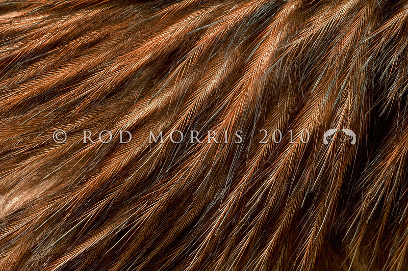 DSC_1009  North Island brown kiwi (Apteryx mantelli) close-up detail of feathers *