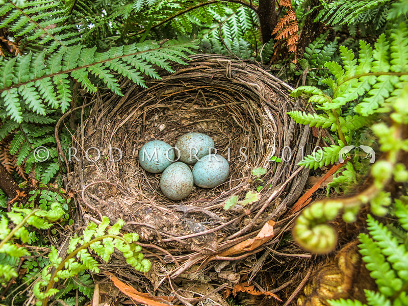 IMG_0048 Eurasian blackbird (Turdus merula merula) nest with typical clutch of four eggs. Blackbirds are highly successful and are the most widely distributed introduced bird in New Zealand, ranging from the coastline to at least 1500m a.s.l., and extending to many of our outlying sub-Antarctic islands. Otago Peninsula *