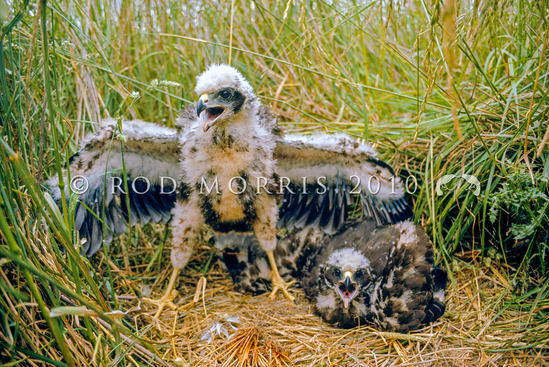 11001-45214 Swamp harrier (Circus approximans gouldi) two chicks just over a month old in a nest in wetland. Mossburn Swamp, Southland *