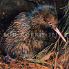 11001-01518  Eastern brown kiwi (Apteryx mantelli) close-up of recently hatched chick in burrow. Lake Waikaremoana *