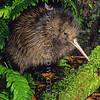11001-02017  Eastern brown kiwi (Apteryx mantelli) close-up of 9 day old chick on forest floor. Lake Waikaremoana