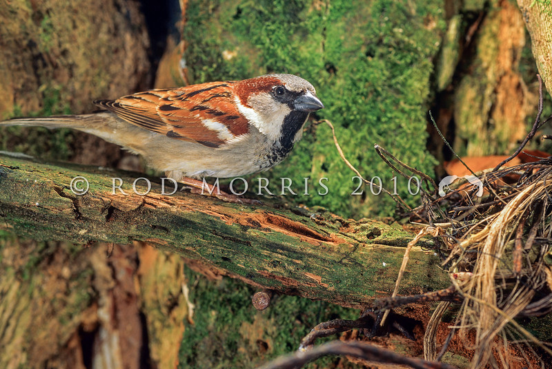 11001-86102 House sparrow (Passer domesticus domesticus) male near nest. The most well known of all our introduced birds, this commensal species benefits from our buildings and our agriculture without affecting us substantially.