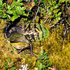 11001-77913  Rock wren (Xenicus gilviventris) female carrying kakapo feather into nest hole in bank beneath Scarlet snowberry (Gaultheria crassa) January, 1978 Tutoko High Bench, Fiordland *