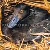 11001-44721  New Zealand scaup (Aythya novaeseelandiae) female incubating eggs beneath Carex