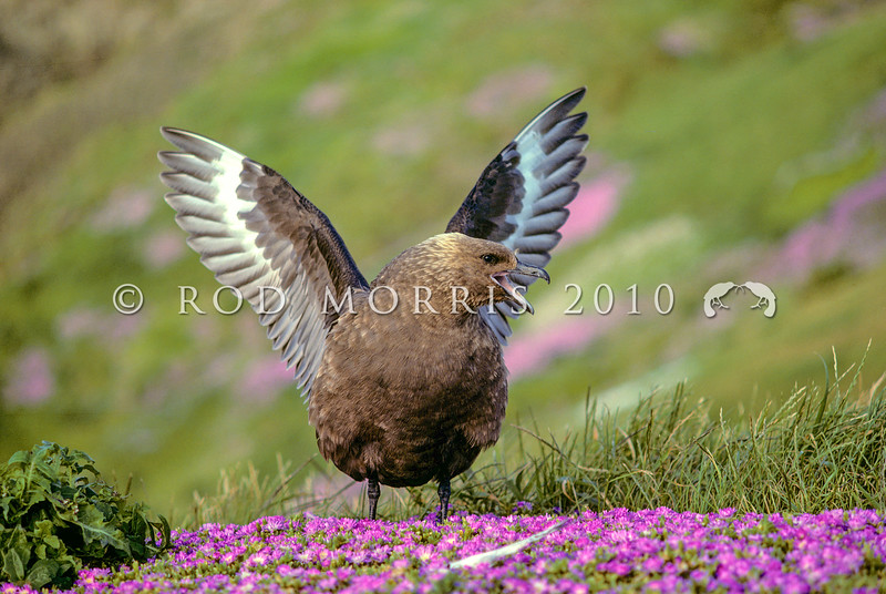 11001-62004  Southern skua (Catharacta antarctica lonnbergi) male 'heraldic' threat display viewed from the front. The pink-flowering ice plant is the endemic (Disphyma papillatum). Mangere Island, Chathams Group *