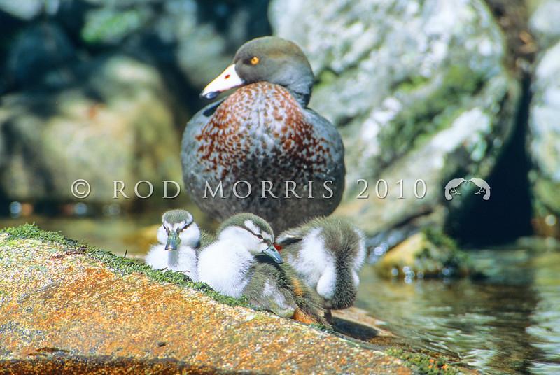 11001-42107  Blue duck (Hymenoliamus malacorhynchos) male guarding three small ducklings in the Clinton Valley