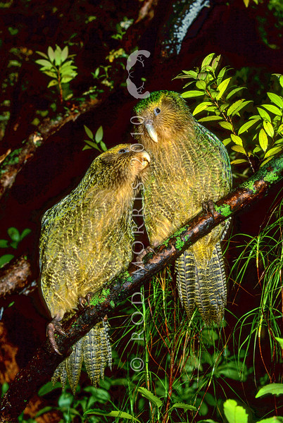 11001-70508  Kakapo (Strigops habroptilus) two young birds 'Ellie' and 'Hauturu' approximately four months old, perched in a rata tree on a damp night on Codfish Island. August 1999 *