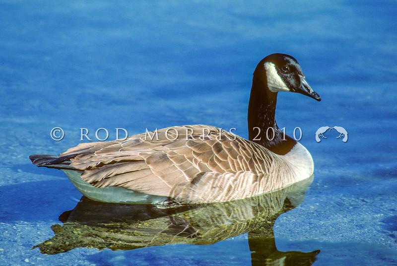 11001-40409 Canada goose (Branta canadensis maxima) female swimming on lake *