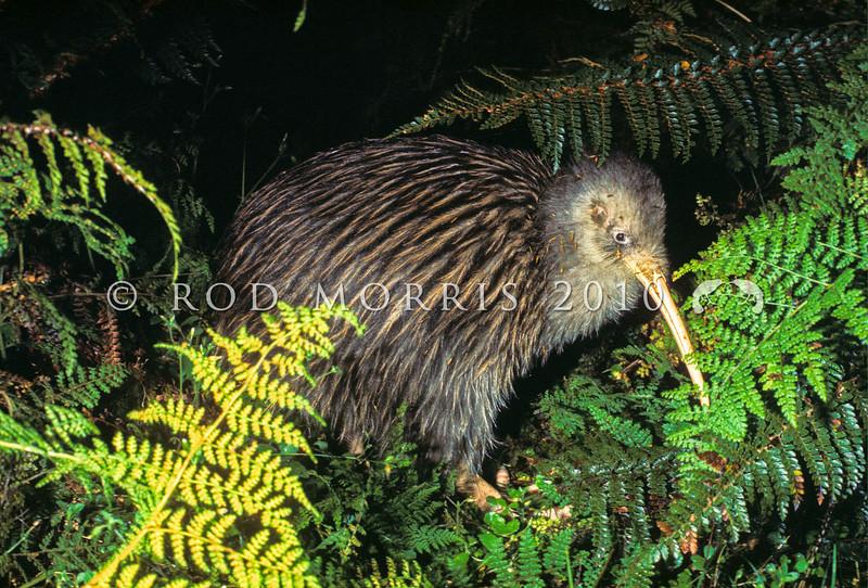 11001-03701 South Island brown kiwi, or Fiordland tokoeka (Apteryx australis australis) in ferns at night, Snag Burn, Fiordland.
