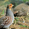 11001- 47003  Grey partridge (Perdix perdix perdix) male. While early introductions of this species at the turn of the century were only briefly successful, a concerted later effort involving the release of thousands of birds between 1964 and 1970 was a total failure. The last record for a wild bird seen was in 1975 *