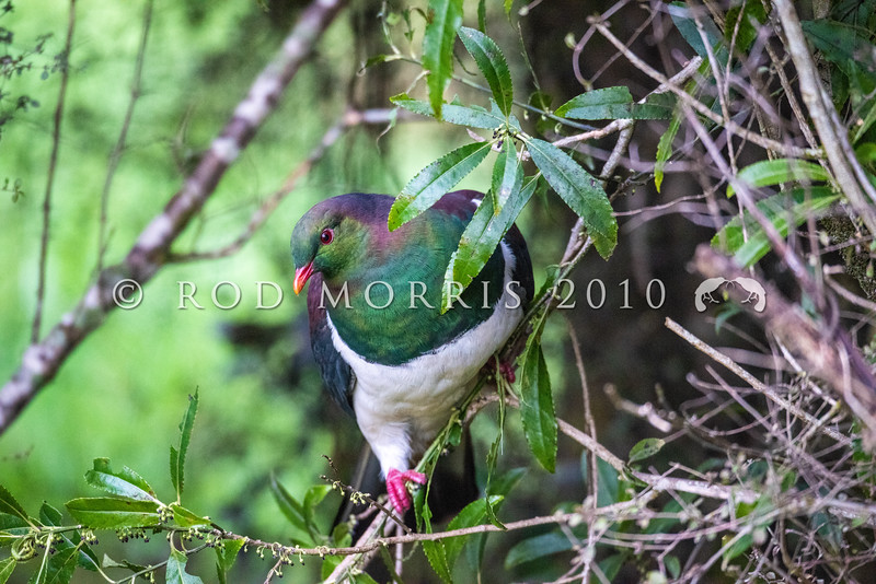 DSC-8101268  Kereru or New Zealand pigeon (Hemiphaga novaeseelandiae) male feeding on narrow-leaved mahoe at bush edge. Lake Kaniere *