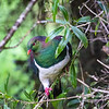DSC-8101268  Kereru or New Zealand pigeon (Hemiphaga novaeseelandiae) male feeding on narrow-leaved mahoe at bush edge. Lake Kaniere *