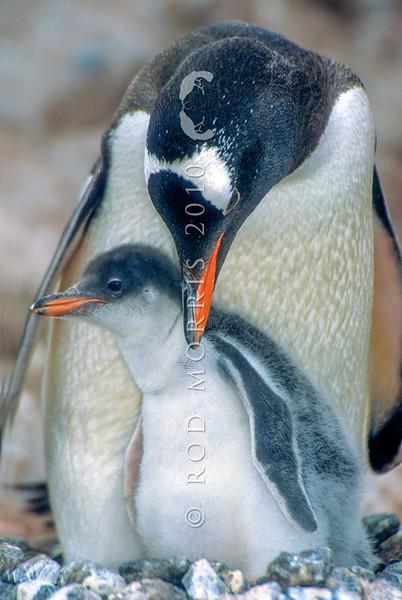 11001-26309  Southern Gentoo penguin (Pygocelis papua ellsworthii) parent guarding a large downy chick on nest in Antarctica *