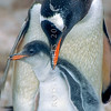 11001-26309  Southern Gentoo penguin (Pygocelis papua ellsworthii) parent guarding a large downy chick on nest in Antarctica