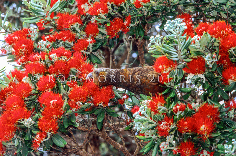 11001-71509 North Island kaka (Nestor meridionalis septentrionalis) feeding on pohutukawa nectar. Little Barrier Island *