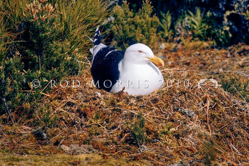 11001-62919 Southern black-backed gull (Larus dominicanus dominicanus) adult on nest in scrub. Holmwood Island, Lake Manapouri *