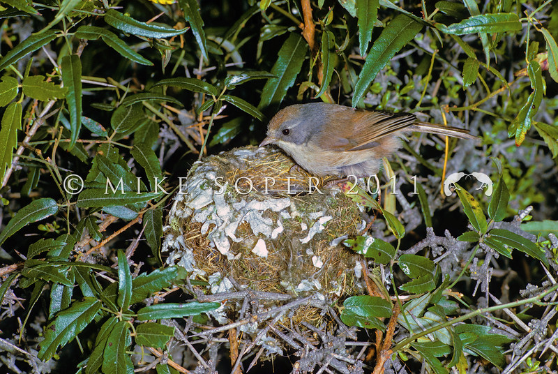 11001-80301 Brown creeper (Mohoua novaeseelandiae) female at nest in bush lawyer at Lake Ohau