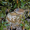 11001-80301 Brown creeper (Mohoua novaeseelandiae) female at nest in bush lawyer at Lake Ohau *