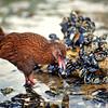 11001-49619 Stewart Island weka (Gallirallus australis scotti) feeding on blue mussels on beach. Paterson Inlet, Stewart Island *