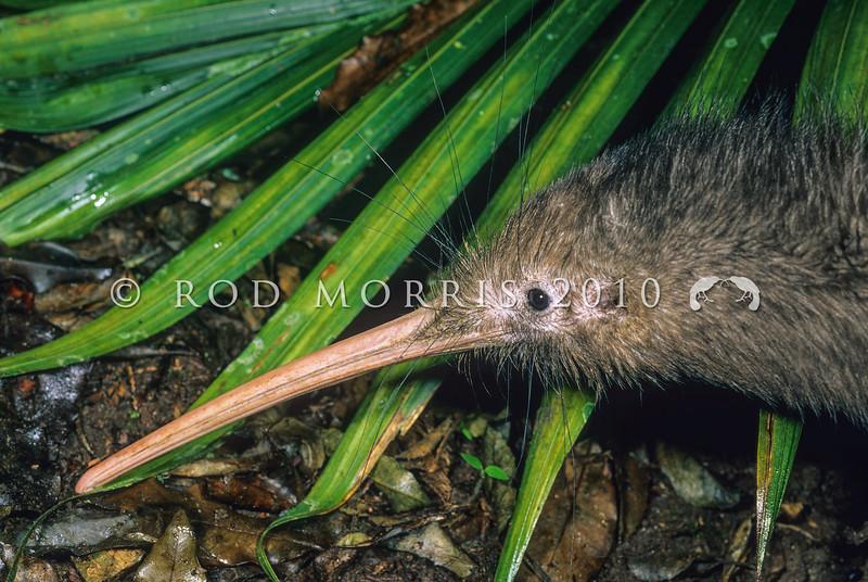 11001-01421 Western brown kiwi (Apteryx mantelli) close up of head *