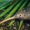 11001-01421 Western brown kiwi (Apteryx mantelli) close up of head