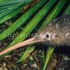 11001-01421 Western brown kiwi (Apteryx mantelli) close up of head