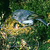 11001-81816 South Island robin (Petroica australis australis) female at nest with chicks *