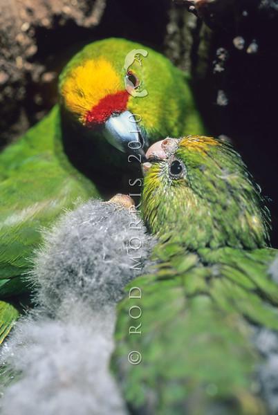 11001-74809 Yellow-crowned parakeet (Cyanoramphus auriceps) female feeding chicks in nest *