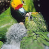 11001-74809 Yellow-crowned parakeet (Cyanoramphus auriceps) female feeding chicks in nest *