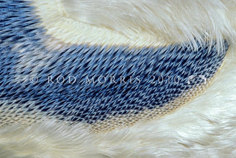11001-28105 White flippered penguin (Eudyptula minor albosignata) detail of wing feathers *