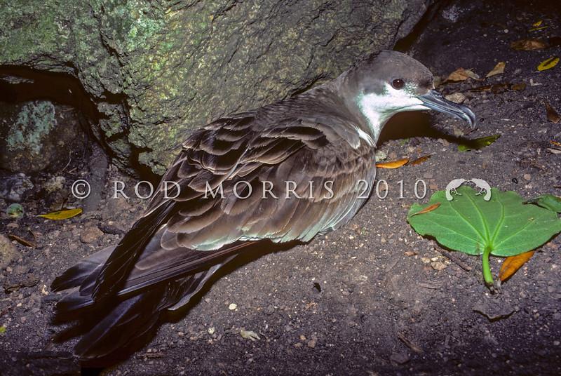 11001-13203  Buller's shearwater (Puffinus bulleri) adult on forest floor, Aorangi Island