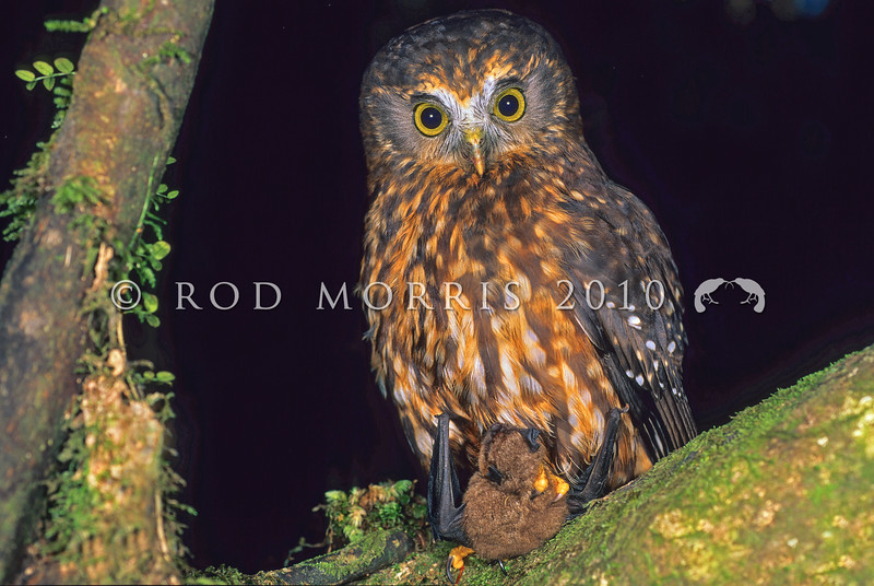 11001-75903 Morepork (Ninox novaeseelandiae novaeseelandiae) adult with freshly captured lesser short-tailed bat (Mystacina tuberculata). Rangataua Forest *