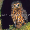 11001-75903 Morepork (Ninox novaeseelandiae novaeseelandiae) adult with freshly captured lesser short-tailed bat (Mystacina tuberculata)