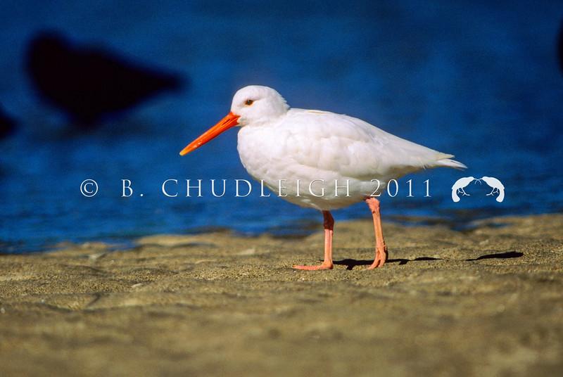 11001-52912 South Island pied oystercatcher (Haematopus finschi) leucistic adult at high tide, Maketu