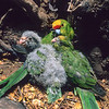 11001-74816 Yellow-crowned parakeet (Cyanoramphus auriceps) female with chicks in nest cavity *