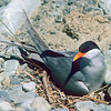 11001-64806 Black-fronted tern (Chlidonius albostriatus) male incubating on nest. Cass River *