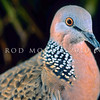11001-70102 Spotted dove (Streptopelia chinensis tigrina)  head of male