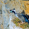 11001-36408  Spotted shag (Phalacrocorax punctatus punctatus) male with white filo-plumes and breeding colours, guards his nest on a coastal ledge *