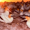 11001-31803 Australasian gannets (Morus serrator) fight between two males in breeding colony at dawn