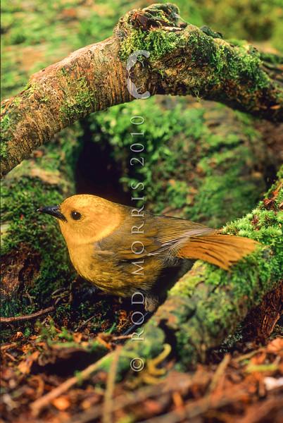11001-80422 Yellowhead, or mohua (Mohoua ochrocephala) female on beech trunk, Catlins Forest *