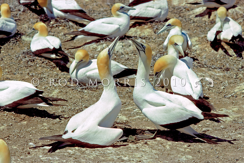 11001-31720 Australasian gannets (Morus serrator) pair 'greeting' in colony. Cape Kidnappers, Hawkes Bay *