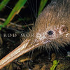11001-01423  Western brown kiwi (Apteryx mantelli) close up of head