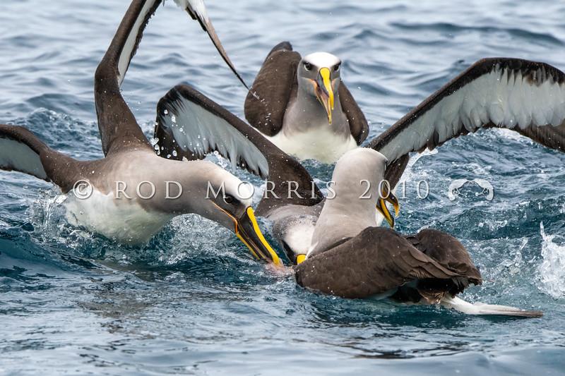 DSC_3855 Northern Buller's albatross (Thalassarche bulleri platei) four adults feeding at sea near South East Island, Chatham Islands *